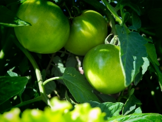 Growing Tomatoes in our Coconut Blended Compost
